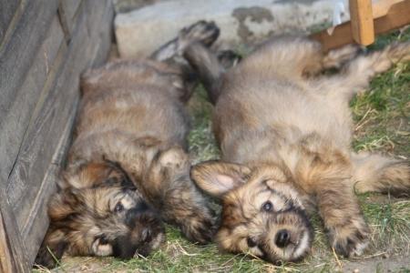 Schapudel Familienhund